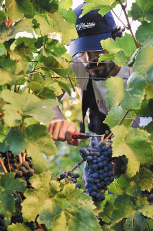 największa winnica Europy, Czarnogóra
