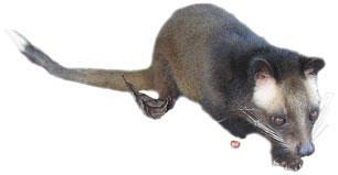 Luwak (Paradoxurus hermaphroditus)/Graf. P. Kułas