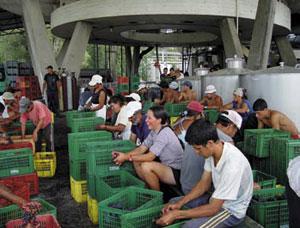 Stosunkowo tania siła robocza w Urugwaju pozwala na dokładną ręczną selekcję winogron/Fot. Juoanicó