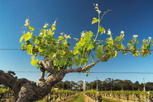 Fot. South Australian Wine Industry Association