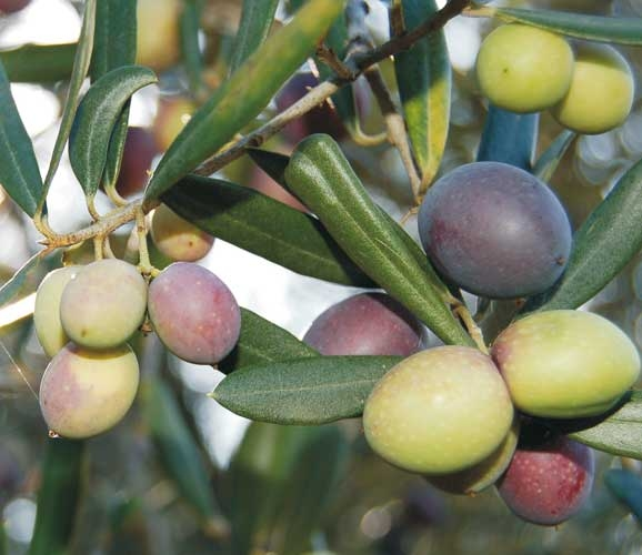 Uprawa oliwek