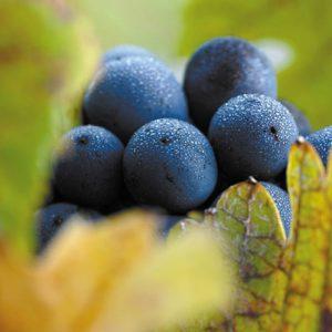 Winorośl w kolorze ferrari