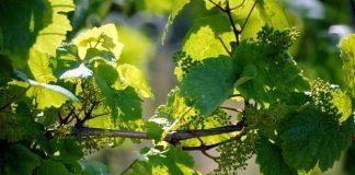 kwitnienie winorośli