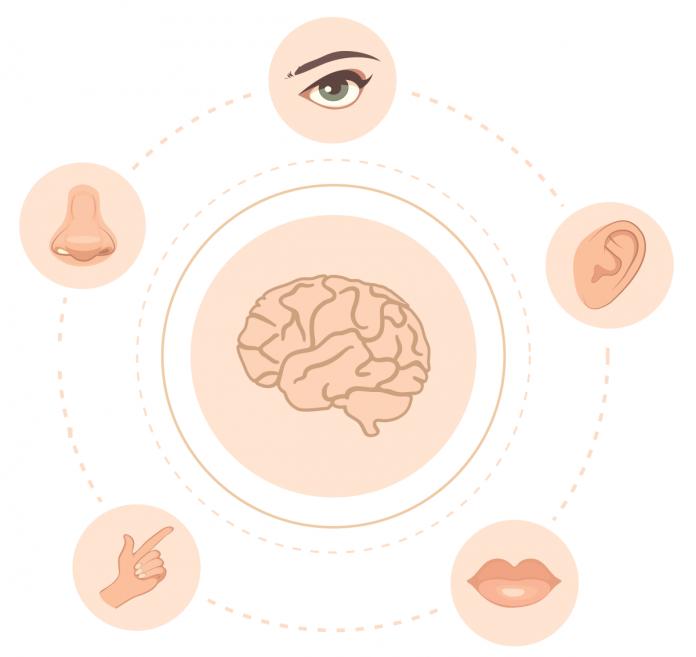 grafika reprezentująca 5 zmysłów i mózg