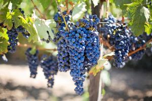 Napa jest uzależniona od cabernet sauvignon