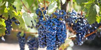 winnice w Dolinie Napa, Kalifornia, USA | fot. jill111 / Pixabay