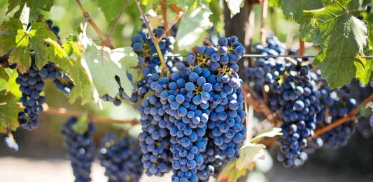 winnice w Dolinie Napa, Kalifornia, USA   fot. jill111 / Pixabay