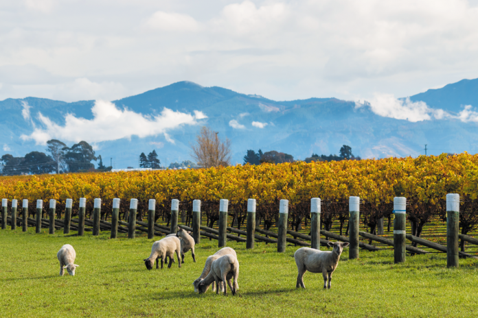 owce pasące się przy winnicy | fot. patjo / shutterstock