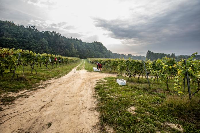 winobranie w Srebrnej Górze | fot. Robert Słuszniak