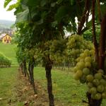 Malutka winnica, wielka sprawa: widok na wypielęgnowaną Winnicę Kolacz. | fot. M. Szymczyk