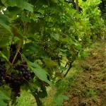Boso trawnikiem po winogrona do śniadania i świat jest piękny: slow life w Podkarpackiej Manufakturze Win. | fot. M. Szymczyk