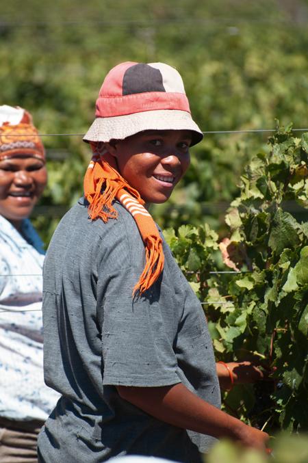 Zbiory winogron w Robertson | fot. LongJon / shutterstock