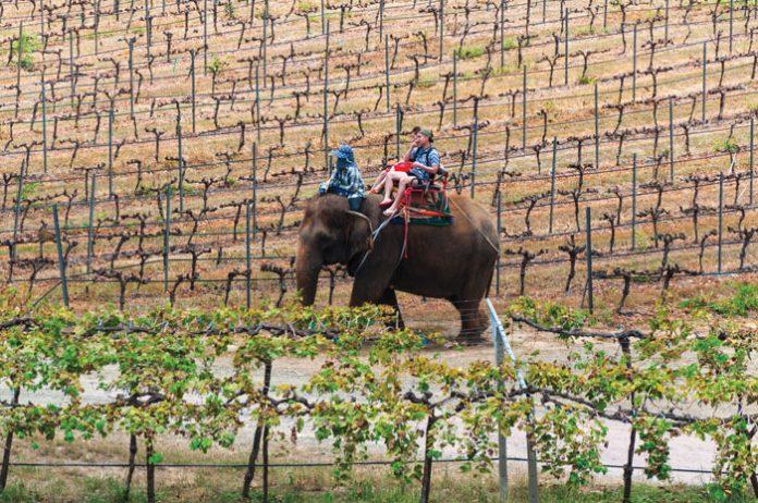 Pionierskie nasadzenia szlachetnej winorośli (odmiany stołowe uprawia się w Tajlandii od dawna), miały miejsce na przełomie lat 80. i 90. na północy, tuż przy granicy z Laosem w dolinie Phu Rua. | fot. katuka / shutterstock
