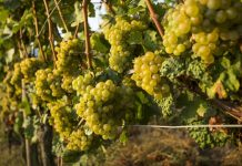 Riesling | fot. Dante Busquets