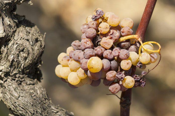 Botrytis cinerea na winogronach | fot. FreeProd33 / shutterstock