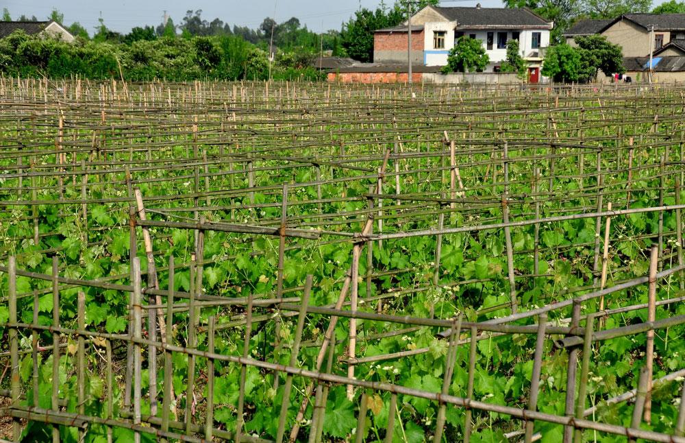 wina z Chin winnica w Chinach