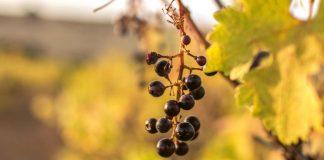 wino zmiany klimatu ocieplenie pożary susze