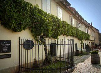 Najstarsza winorośl na świecie w Mariborze