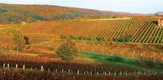 Winnice w Slawonii