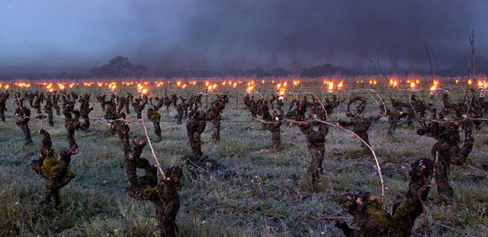 Wiosna zła. Przymrozki rujnują europejskie winnice